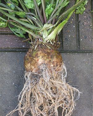 Knolselderij knol (Apium graveolens var. rapac...