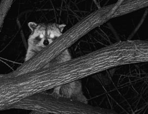 Toronto racoon at night. Toronto, Canada is no...