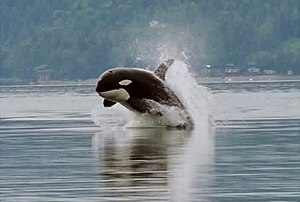 Cropped version of the single breaching orca p...