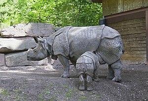 Panzernashorn (Rhinoceros unicornis) mit Junge...