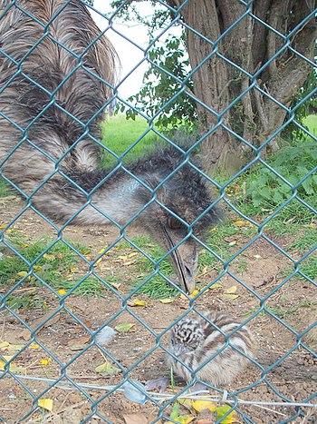 English: Baby emu feeling a little hen-pecked!...