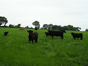English: Beef Cattle These suckler cows are ra...