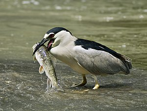 Black-crowned Night Heron Français : Bihoreau ...