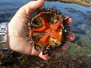 Sea urchins roe in Alghero Sardinia