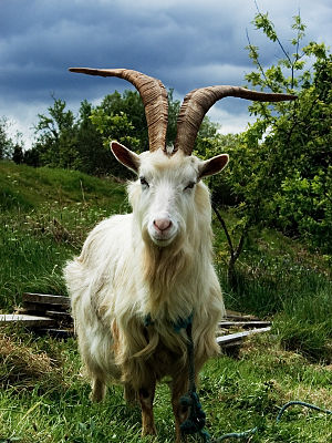 Irish Goat