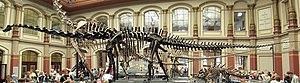 Deutsch: Skelett eines Diplodocus in der Dinos...