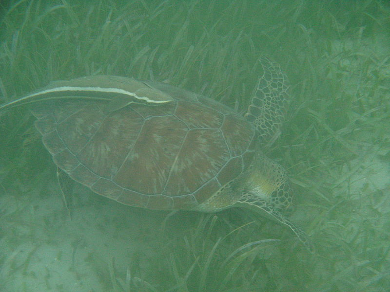 File:Sea turtle and remora.JPG