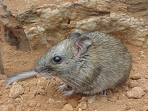 Central Rock-rat (Zyzomys pedunculatus)