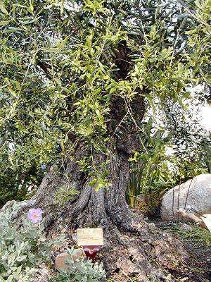 Eden Olive Tree