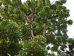 Pohon kemang, Ragajaya, Bojonggede, Bogor, Jawa Barat.