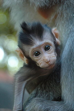 Monkey in Bali, Indonesia