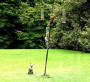 English: Red squirrel on bird-feeder On the la...