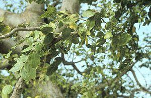 African Hackberry (Celtis integrifolia)