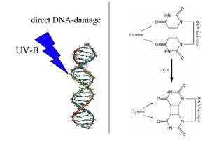 A UV radiation induced thymine-thymine cyclobu...