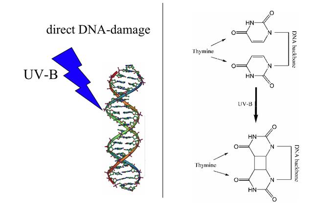 Ultraviolet light damages DNA leading to a sunburn.