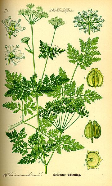 Archivo:Illustration Conium maculatum0.jpg