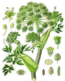 Koehler1887-GardenAngelica.jpg