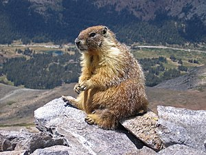 A marmot seen on top of Mount Dana, Yosemite, ...