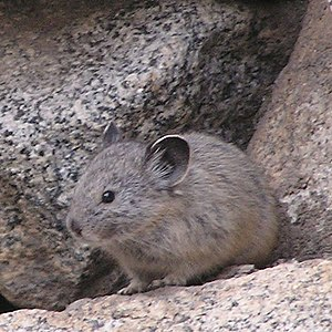 The American Pika's cryptic coloration helps i...