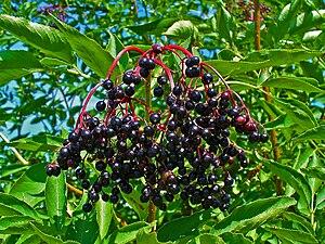 English: Sambucus nigra, Adoxaceae, Elder, Eld...