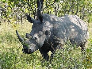 Ceratotherium simum, Kruger National Park