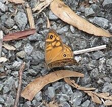 Brown Butterfly (Heteronympha merope)