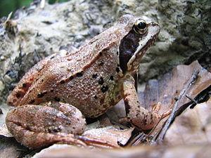 English: frog