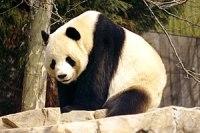"""Male Giant Panda """"Tian Tian"""" (1997)"""