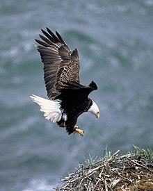 bald eagleの意味・使い方・読み方 | Weblio英和辭書
