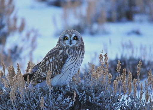 Short-Eared Owl on Seedskadee NWR (23156055129)