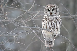 English: Barred Owl (Strix varia) – Whitby, On...