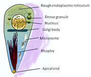 Toxoplasma gondii  Wikipedia
