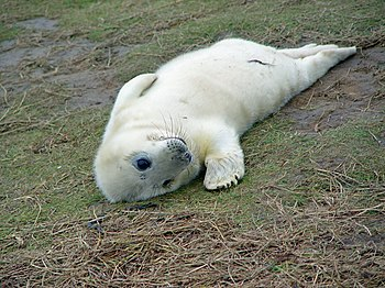 English: A young seal at Donna Nook This perso...