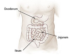 The small intestine.