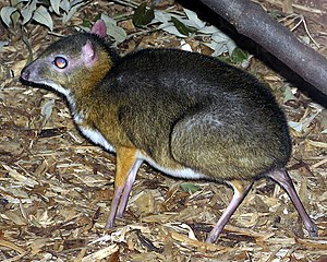 Lesser Malay mouse deer Tragulus javanicus in ...
