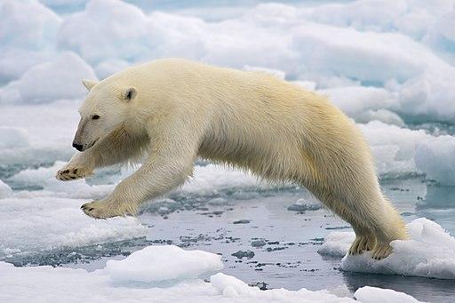 Polar Bear AdF