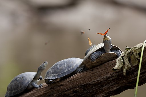 A butterfly feeding on the tears of a turtle in Ecuador