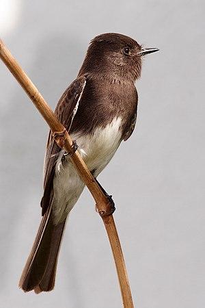 English: A Black Phoebe (Sayornis nigricans), ...