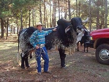 English: Brahman bull and rancher