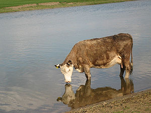 A drinking cow and her reflection, River Thame...