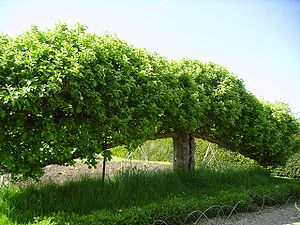 Free-standing espaliered fruit trees (Belgian ...