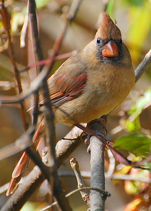 English: Female Northern Cardinal മലയാളം: നോര്...