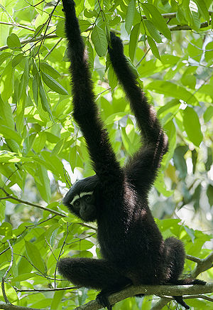 English: A male Western Hoolock Gibbon (Hooloc...