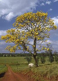 El Araguaney, árbol nacional de Venezuela.   Este árbol puede apreciarse en todo su esplendor hacia el mes de mayo, hecho por el que el escritor y ex-presidente Rómulo Gallegos denominara a este mes como