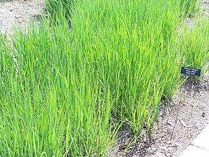 Panicum virgatum 'Heavy Metal' Switch Grass in...
