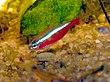 Paracheirodon cardinalis.JPG