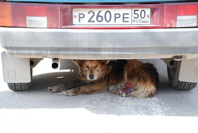 Stray dog under car