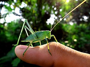 English: A grasshopper at the fort