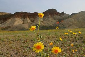 Wildflowers in Death Valley National Park