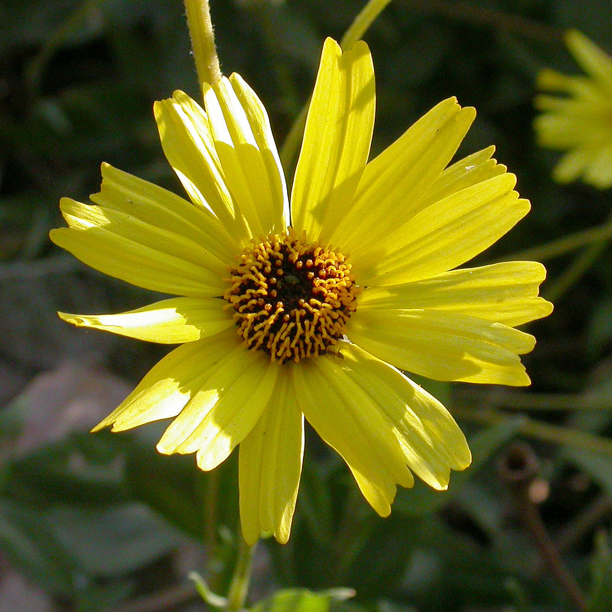 Encelia Californica Wikipedia